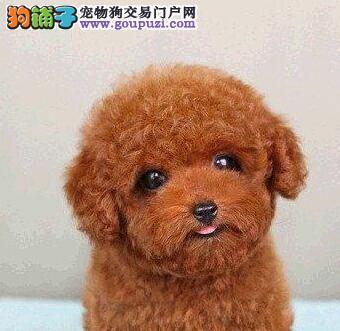高品质韩系血统泰迪犬南京犬舍直销 保证狗狗纯种
