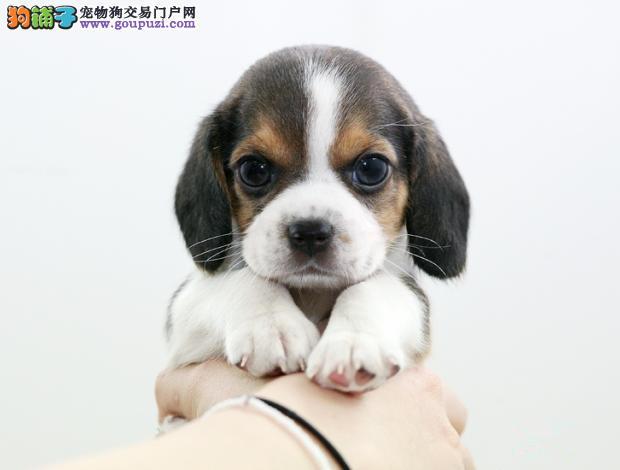 昆明CKU认证犬舍出售高品质比格犬外地可空运已驱虫