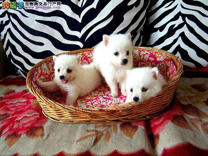 杭州银狐犬出售 银狐犬价格