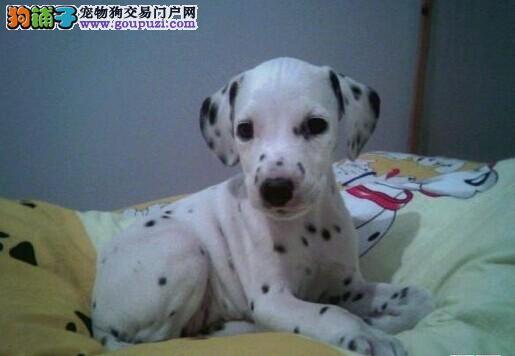 顶级优秀的纯种南京斑点狗热销中可直接视频挑选