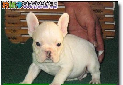 出售纯种赛级法国斗牛犬 证品质健康 颜色齐全