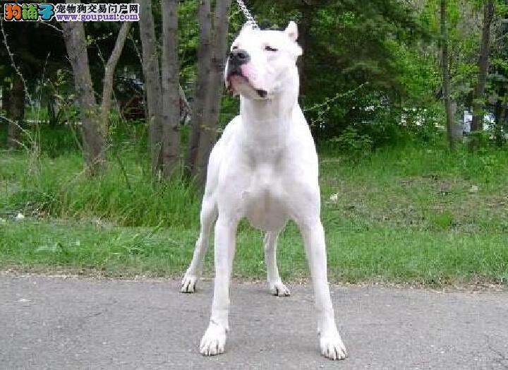 广州狗场广州杜高犬图片