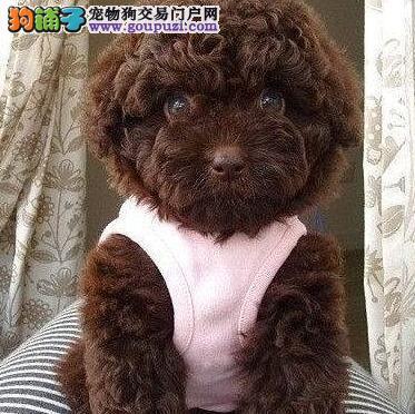 转让可爱至极人见人爱的南通泰迪犬 购买可签订协