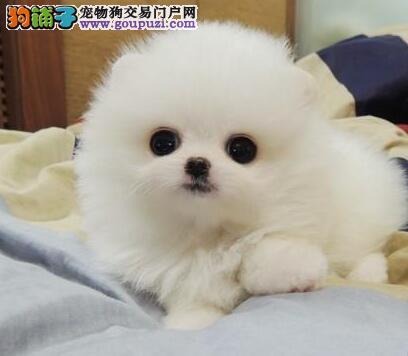CKU犬舍认证出售高品质郑州博美犬包养活包退换