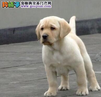 高品质拉布拉多犬待售 保健康 完美售后 太原基地直销