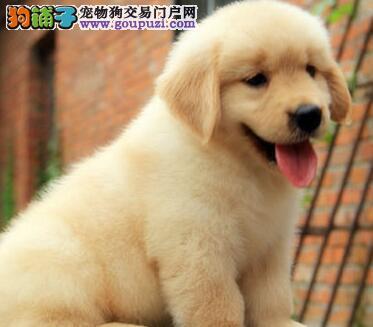 繁育基地促销精品金毛犬重庆市区可上门看狗