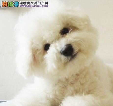 专业繁殖专业出售比熊犬 疫苗已做齐欢迎来上海购买