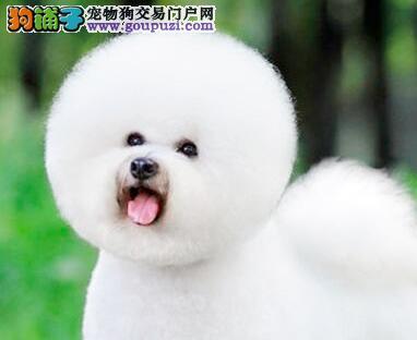 正规犬业繁殖精品比熊犬低价促销均可见狗狗父母