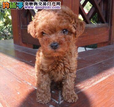 自家繁殖极品贵宾犬转让郑州地区可上门选购