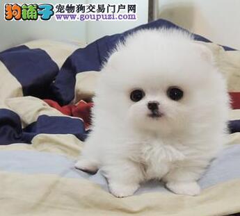 最好的哈多利球形博美重庆热卖 贴心萌宠 您的高贵爱犬