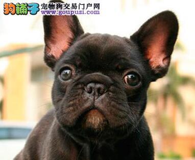 上海那里有纯种法牛出售 上海纯种法牛多少钱 法牛照片