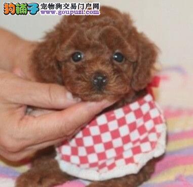 基地优惠促销极品贵宾犬厦门市区内购犬可送用品