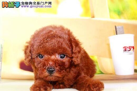 东莞自己实体狗场出售泰迪犬 多只幼犬供您选择