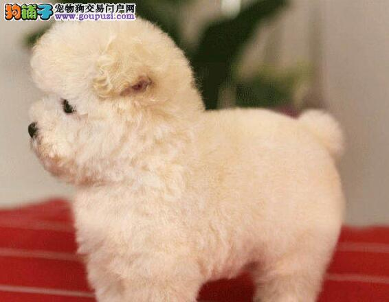可爱纯正韩国血统南京贵宾犬特价出售 有问题可退可换