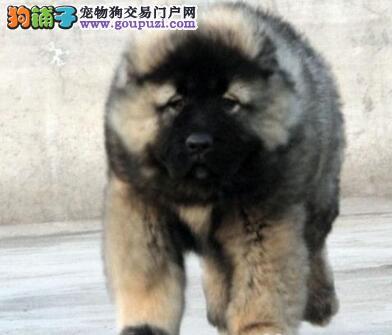 转让俄系巨型熊版的呼和浩特高加索犬 签署合同质保