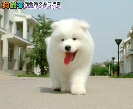 头版骨架极佳的萨摩耶幼犬找新家 东莞市内免费送货