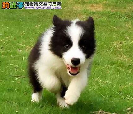 品质保证公母均有的东莞边境牧羊犬找新家 非诚勿扰