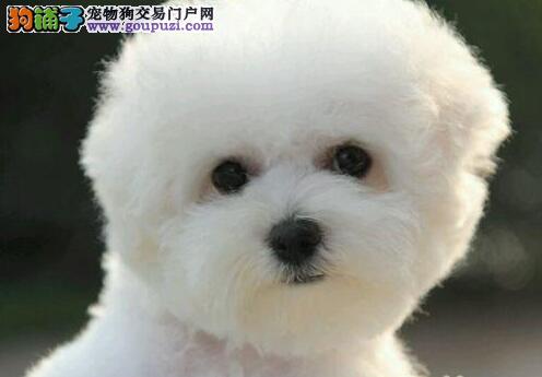 大眼睛甜美比熊幼犬找爸爸妈妈 东莞周边免费送货