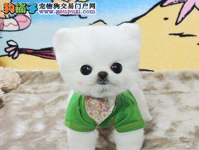 东莞狗场出售超萌纯种哈多利球形博美幼犬 欲购从速