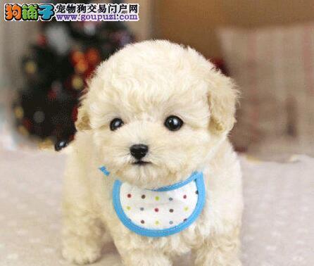 出售完美品相的东莞贵宾犬 可以上门看狗可送货