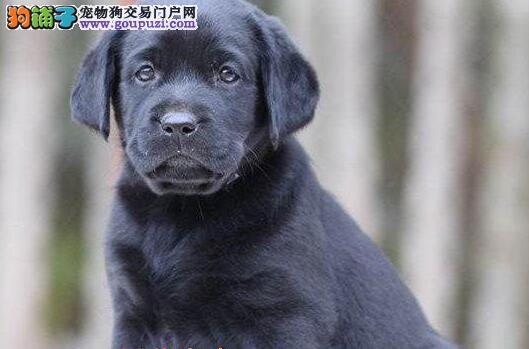 鹰潭最大犬舍出售多种颜色拉布拉多签正规合同请放心购买