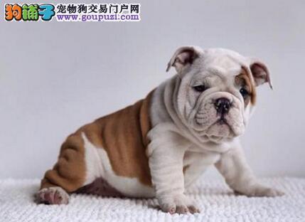 AC国际联保专业繁殖英国斗牛犬/品质保证-起售健康质保