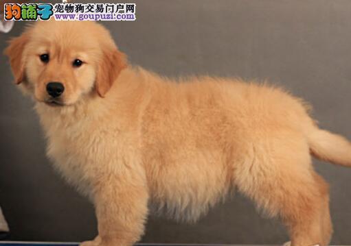 珠海正规狗场出售金灿灿的金毛犬 上门可见狗父母