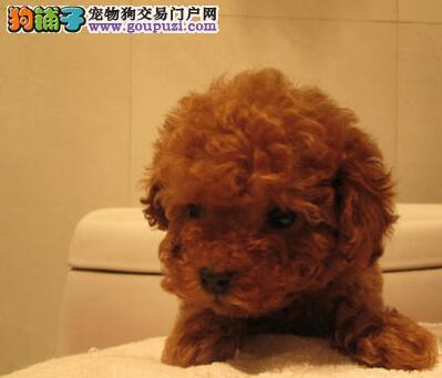 南昌顶级犬舍热销优质韩系贵宾犬 全场八折出售超便宜