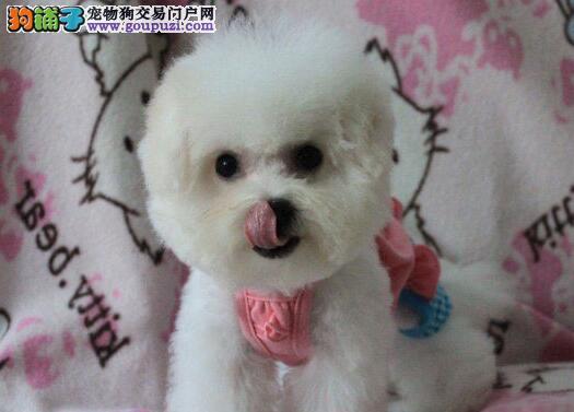 甜美脸型的珠海比熊犬低价热卖中 可随时上门看狗