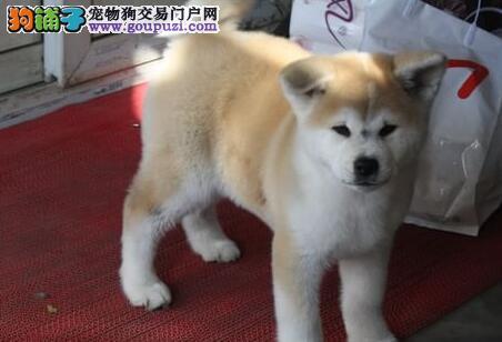琼山出售秋田犬幼犬品质好有保障签署各项质保合同