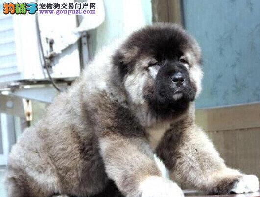 原生态血系的珠海高加索犬找新家 质保三年免费送上门