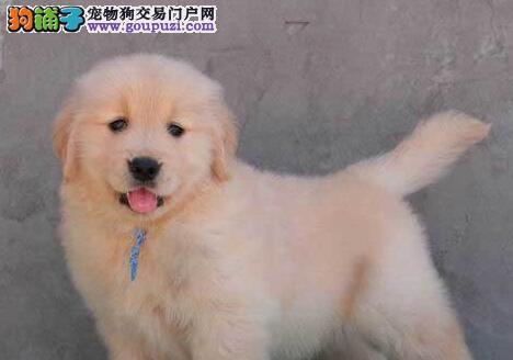 家养顶级品质金毛犬促销中可签订购买协议