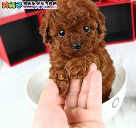武汉出售自家繁殖贵宾犬 正宗血统 健康纯种 欢迎咨询