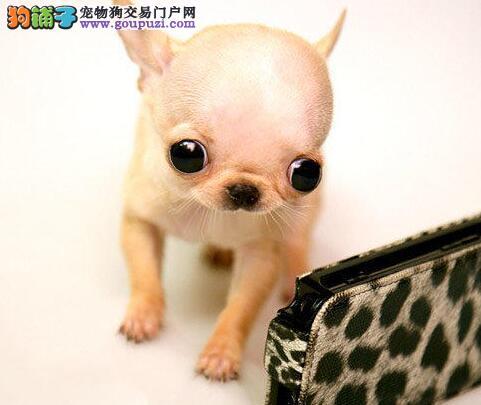 超小体金鱼眼的珠海吉娃娃幼犬热销中 签订购犬协议书