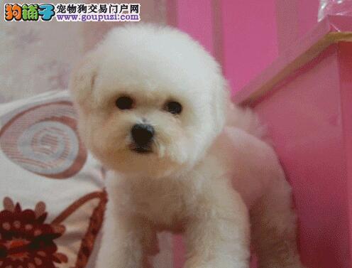 珠海正规狗场低价出售卷毛比熊犬 我们承诺售后三包