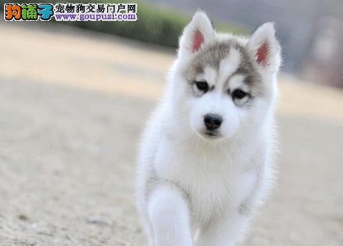 珠海养殖基地出售高品质的哈士奇幼犬 多只幼犬任选择