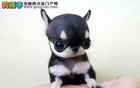 专业繁殖纯种吉娃娃犬—品质有保障—签订协议保三年