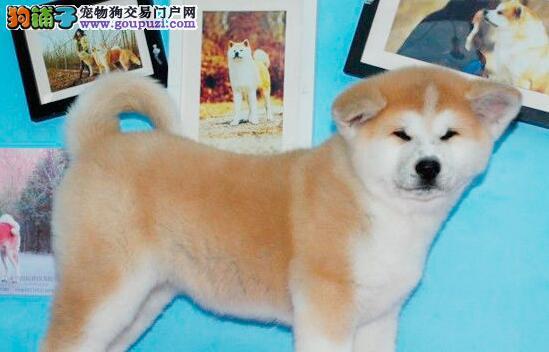 柳州繁殖基地低价出售纯日系秋田犬 签订售后协议书
