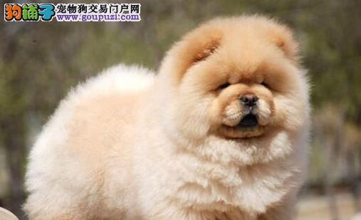 热销杭州松狮幼犬很憨厚可爱 肉嘴紫舌 喜欢的看过来