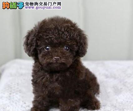 犬业出售纯种健康的柳州泰迪犬 八联疫苗均已做齐