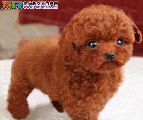 直销泰迪犬幼犬、可办理血统证书、当天付款包邮