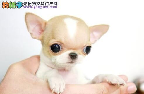 精品吉娃娃幼犬一对一视频服务买着放心假一赔万签活体协议