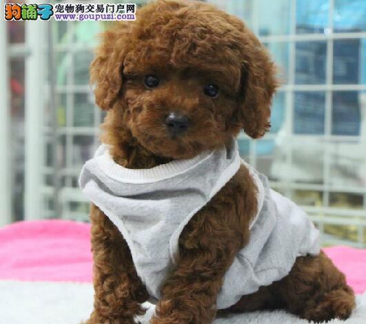 直销可爱纯种韩系武汉贵宾犬 国外引进保证血统纯正