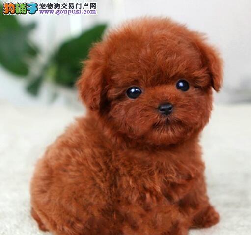 长沙狗舍出售极品泰迪犬多个颜色欢迎选购