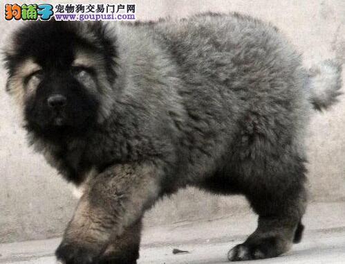 长沙基地多只高加索犬促销中购买可签订活体协议