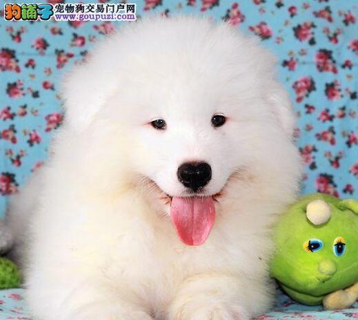 长沙基地促销高品质萨摩耶品质保证购犬有礼品
