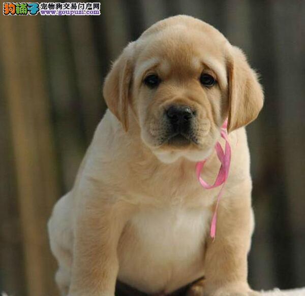 专业犬舍直销高品质长沙拉布拉多犬公母都有