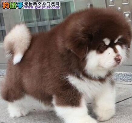 呼和浩特正规犬舍出售阿拉斯加犬 三个月内包退换