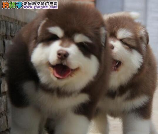 阿拉斯加雪橇犬 天津优品犬业 纯种頂极品幼犬