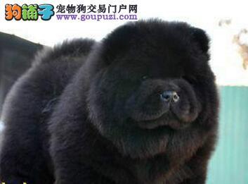 转让优质大嘴紫舌吐鲁番松狮犬 保证身体绝对健康